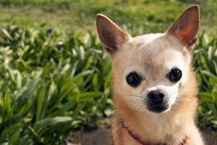在高草前面的年长苹果头奇瓦瓦狗 免版税库存图片