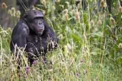 在高草坐的黑猩猩 免版税库存照片