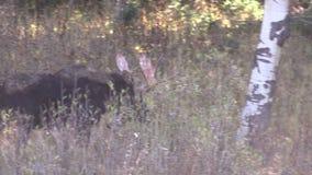 在高草的公牛麋 股票录像
