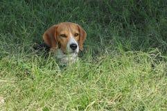 在高草的小猎犬 免版税库存图片