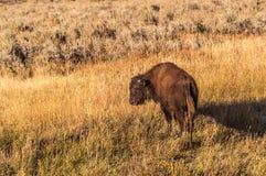 在高草的少年北美野牛 库存照片