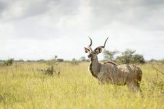 在高草的更加伟大的Kudu 图库摄影