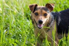 在高草的狗 免版税图库摄影