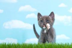 在高草的灰色和白色虎斑猫 图库摄影