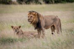 在高草的狮子联接的夫妇 免版税图库摄影