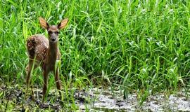 在高草的被察觉的小鹿 免版税库存照片