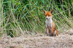 在高草的野生幼小狐狸 库存照片