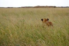 在高草的雌狮 免版税库存照片