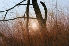 在高草的死的树与日落 免版税图库摄影