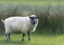 在高草的Beulah有斑点具有的绵羊 免版税库存图片