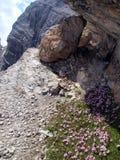 在高落矶山脉, Brenta白云岩的花 免版税库存照片