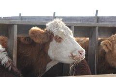 在高视阔步之间的母牛领袖 图库摄影