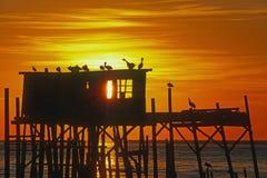 在高跷房子的布朗鹈鹕日出的在锡达礁,佛罗里达 免版税库存图片