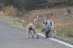 在高速公路的二只猴子 库存照片
