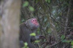 在高雄市,台湾山的高山族短尾猿,也称Macaca cyclopis 免版税库存图片