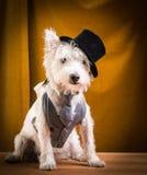 在高顶丝质礼帽的执行者狗在阶段 库存照片