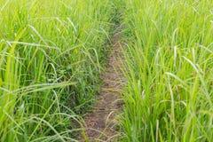 在高,厚实的绿草的一条常到的道路在Ubud 免版税库存照片
