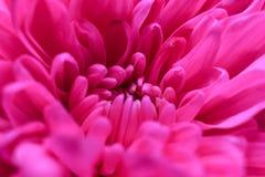 在高细节的桃红色花菊花 新鲜背景美丽的花 菊花花的宏观图象 免版税库存图片