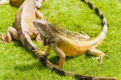 在鬣鳞蜥的鬣鳞蜥停放瓜亚基尔,厄瓜多尔街市  库存图片