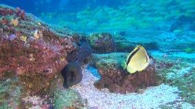 在鱼学校背景的海鳝水下在加拉帕戈斯深海  股票录像