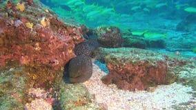 在鱼学校背景的海鳝水下在加拉帕戈斯深海  股票视频