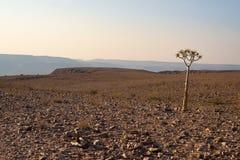 在鱼河峡谷,旅行目的地的孤立小猴面包树在纳米比亚,非洲 免版税库存照片