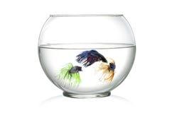 在鱼的三条暹罗战斗的鱼在白色背景前面滚保龄球, 库存图片