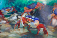 在鱼缸的五颜六色的螃蟹 免版税库存图片