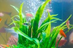 在鱼缸的小的鱼或水族馆、金鱼、色彩艳丽的胎生小鱼和红色f 免版税库存照片