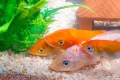 在鱼缸的小的鱼或水族馆、金鱼、色彩艳丽的胎生小鱼和红色f 库存照片