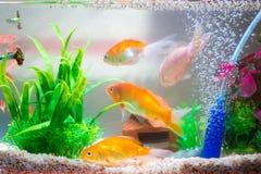 在鱼缸的小的鱼或水族馆、金鱼、色彩艳丽的胎生小鱼和红色f 免版税库存图片