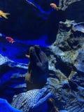 在鱼缸的海鳝在水族馆在新加坡 图库摄影