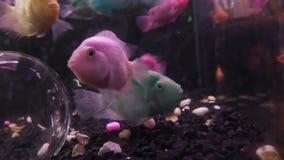 在鱼缸的美丽的鱼 股票视频