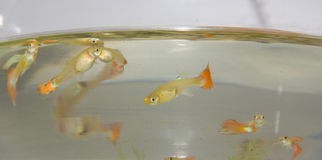 在鱼缸的食蚊鱼 库存照片