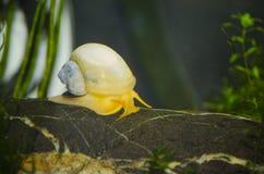 在鱼缸的黄色苹果蜗牛 图库摄影