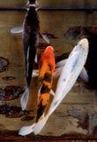 在鱼缸的Koi鱼 库存照片