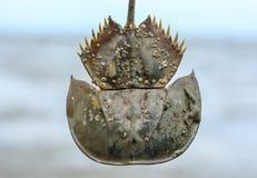 在鲎的海扇贝 免版税库存照片