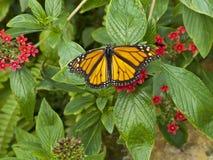 在鲜绿色的叶子的蝴蝶特写镜头有小红色花的 免版税图库摄影