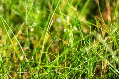 在鲜绿色的草的露滴 在雨自然背景以后的湿草 选择聚焦 库存图片