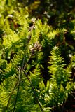 在鲜绿色的蕨前面的干棕色种子荚由早晨太阳点燃 库存图片