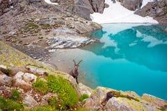 在鲜绿色湖附近的石山羊在紫胶附近的法国阿尔卑斯 免版税图库摄影