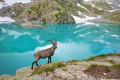 在鲜绿色湖附近的石山羊在紫胶附近的法国阿尔卑斯 免版税库存图片