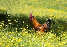在鲜绿色的草背景的明亮的橙色公鸡  免版税库存照片