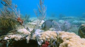 在鲳参海滩, FL的礁石鱼 免版税图库摄影