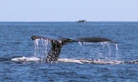 在鲸鱼家庭Los Cabos墨西哥优秀视图的鲸鱼在太平洋的 库存图片