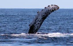 在鲸鱼家庭Los Cabos墨西哥优秀视图的鲸鱼在太平洋的 图库摄影
