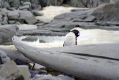 在鲸鱼骨头后的Gentoo企鹅 免版税库存照片