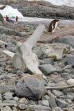 在鲸鱼骨头后的Gentoo企鹅 免版税图库摄影