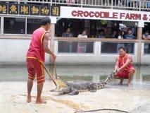 在鳄鱼农场的鳄鱼展示 免版税库存照片