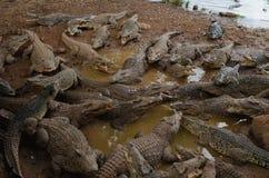 在鳄鱼农场的鳄鱼 免版税库存图片